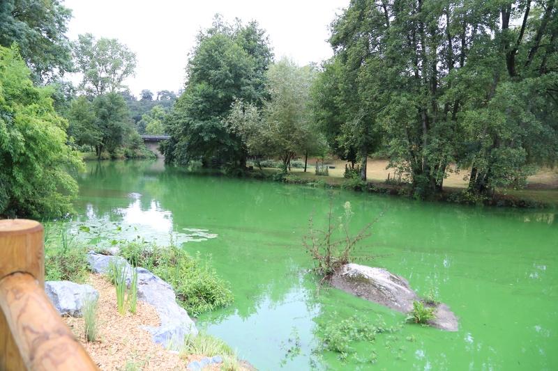 Développement de cyanobactéries sur la Moine en août 2018